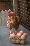 Chicken and basket of eggs Stock Photo