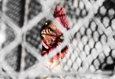 Chicken behind wire fence. An angry chicken behind a wire fence royalty free stock photography