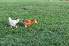 Chicken being chased for her apple. Our free-ranging chickens love apple season. This hen doesn`t want to share, but the chicken chasing her has other ideas stock photos