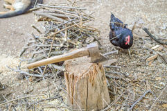 Chicken. Big chicken near metal ax of death, doesn't scare it. Brave Royalty Free Stock Photography