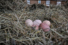 Chicken bio eggs in straw. Raw eggs in the morning on rural farm yard royalty free stock image