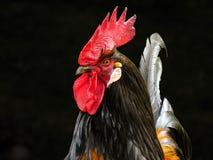 Chicken, Bird, Beak, Rooster Stock Images
