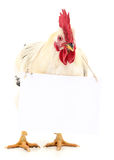 Chicken with blank Royalty Free Stock Image