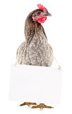Chicken with blank Royalty Free Stock Photography
