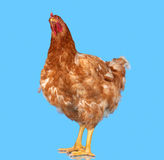 Chicken on blue background,  object, one closeup animal Stock Image