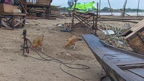 Chicken, boat,  mekong , cambodia, southeast asia Royalty Free Stock Images