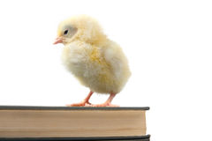 Chicken and book. Stock Images