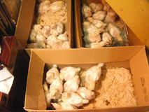 Baby chicken in the box. Carton, offspring. Chicken in the box. Carton, offspring Stock Images
