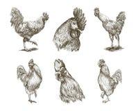Chicken breeding. animal husbandry. vector sketches on white. Chicken breeding. animal husbandry. livestock. Set of vector sketches on white background Royalty Free Stock Photos