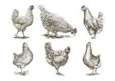 Chicken breeding. animal husbandry. vector sketches on white. Chicken breeding. animal husbandry. livestock. Set of vector sketches on white background Royalty Free Stock Photo