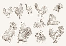 Chicken breeding Royalty Free Stock Photos