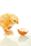 Chicken with broken egg shell - isolated Royalty Free Stock Image