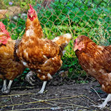 Chicken brown in a henhouse Royalty Free Stock Photos
