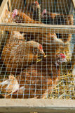 Chicken in cage Stock Images