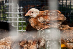 Chicken in the cage Stock Photography