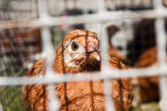 Chicken in the cage Stock Images
