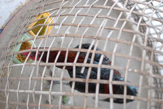 Chicken in cage waiting for food in farm Stock Photography
