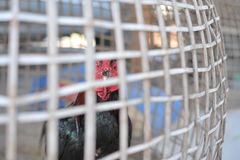 Chicken in cage waiting for food in farm Stock Photo