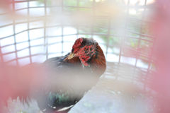 Chicken in cage waiting for food in farm Royalty Free Stock Images