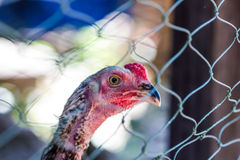 Chicken in the cages Stock Images