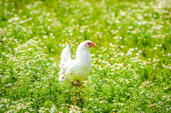 Chicken in a camomile garden Royalty Free Stock Photo