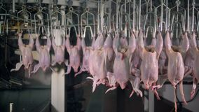 Complicated factory route of transferring chicken carcasses. stock video