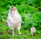 Chicken with chick on fresh green grass Stock Photography
