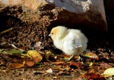 Chicken Chick Stock Photo