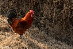 Chicken. S foraging on the grass Royalty Free Stock Images
