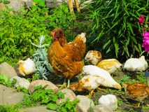 Chicken with chickens looking for food among the grass in the yard stock photography