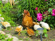 Chicken with chickens looking for food among the grass in the yard royalty free stock images