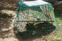 Chicken with chickens under the guard netting. Maintenance of poultry in a village in the Philippines Royalty Free Stock Photos