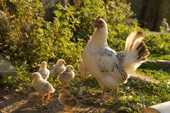 Chicken and Chicks. Free range around the farm royalty free stock photography