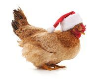 Chicken in a Christmas hat