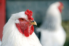 Chicken close Royalty Free Stock Photos