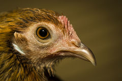 Chicken Close-up Royalty Free Stock Photo