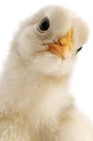 Chicken close-up Stock Images