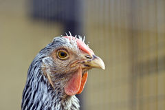 Chicken closeup Royalty Free Stock Image