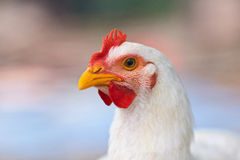 Chicken, closeup portrait Stock Photography