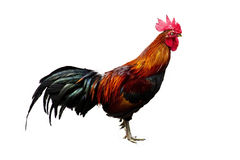 Chicken. Animal, chicken, walking forward royalty free stock photography