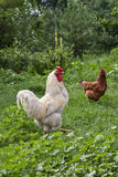 Chicken and cock Stock Photography