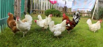 Chicken and cock, farm, shooting outdoors Stock Photos