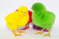 Chicken color. Yellow green and red Royalty Free Stock Photo