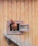 Chicken comes out of the chicken coop
