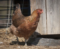Chicken Coming Out of a Barn Royalty Free Stock Images