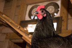 Chicken In Coop Royalty Free Stock Photo