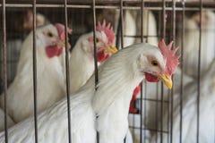 Chicken Coop. Chiken in the chicken Coop stock photos