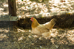Chicken In Coop On Farm Royalty Free Stock Image
