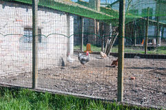 Chicken coop with the hens inside and the rooster. Italy Stock Photography