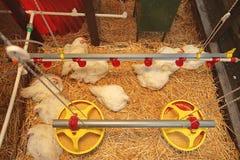 Chicken in Coop Stock Image